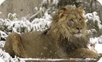 Lion Cam (USA)