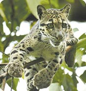 Fishing Cats Cam (USA)