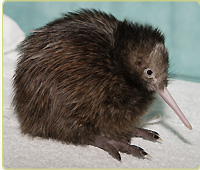 Kiwi Chick Cam (USA)