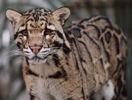 Clouded Leopards Cam (USA)